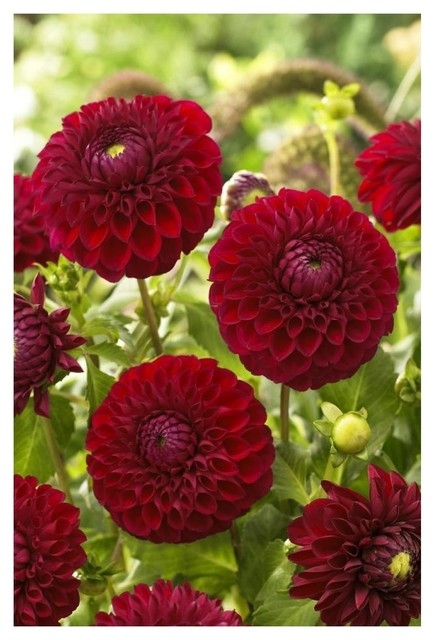 Dahlia Boom Boom Red Variety Flowers Paper Print By