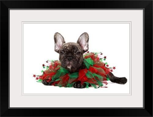 """French Bulldog wearing a Christmas collar"" Black Framed Art Print, 26""x20""x1"""