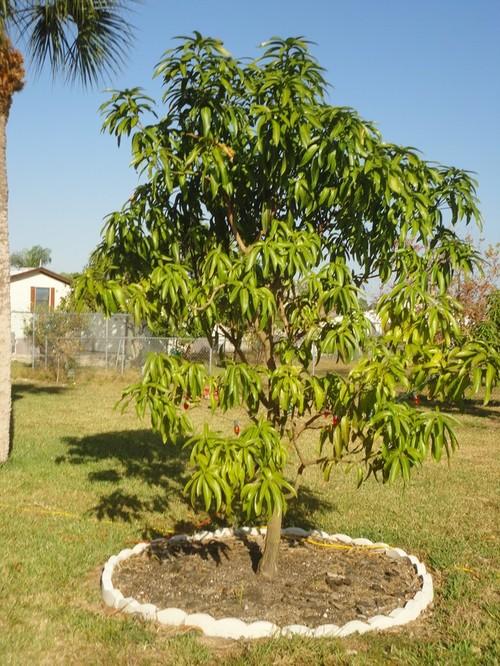 Mango Tree Nursery Miami Thenurseries