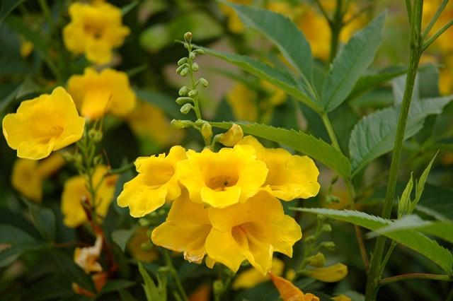 Great design plant yellow bells a screening queen mightylinksfo Images