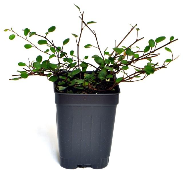 Muehlenbeckia complexa - Fairy Vine