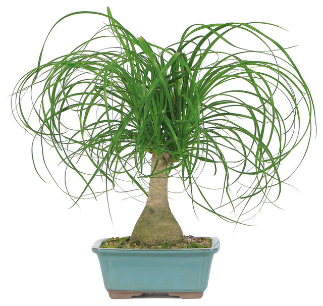 brussels bonsai ponytail palm bonsai tree plants - Tall Potted Plants