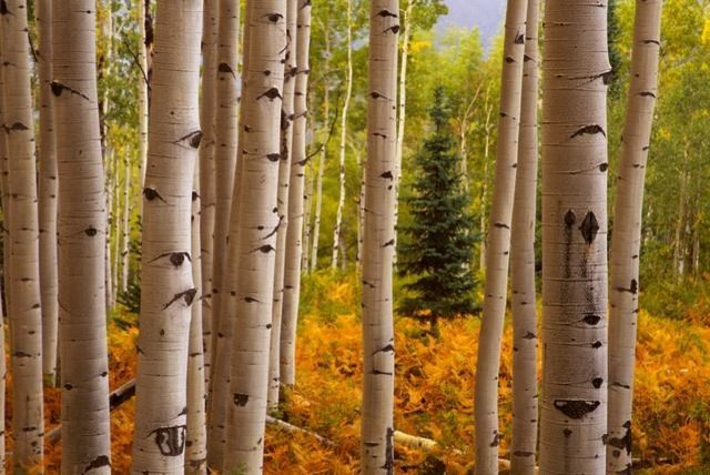 Exceptional Aspen Forest Wall Mural   18 Inches W X 12 Inches H Contemporary Wall  Part 20