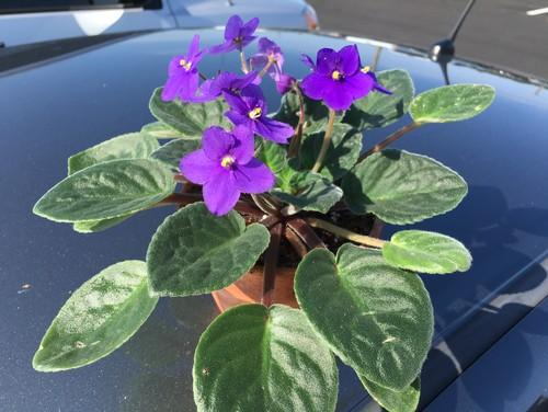 African Violet Pots Lowes Zef Jam