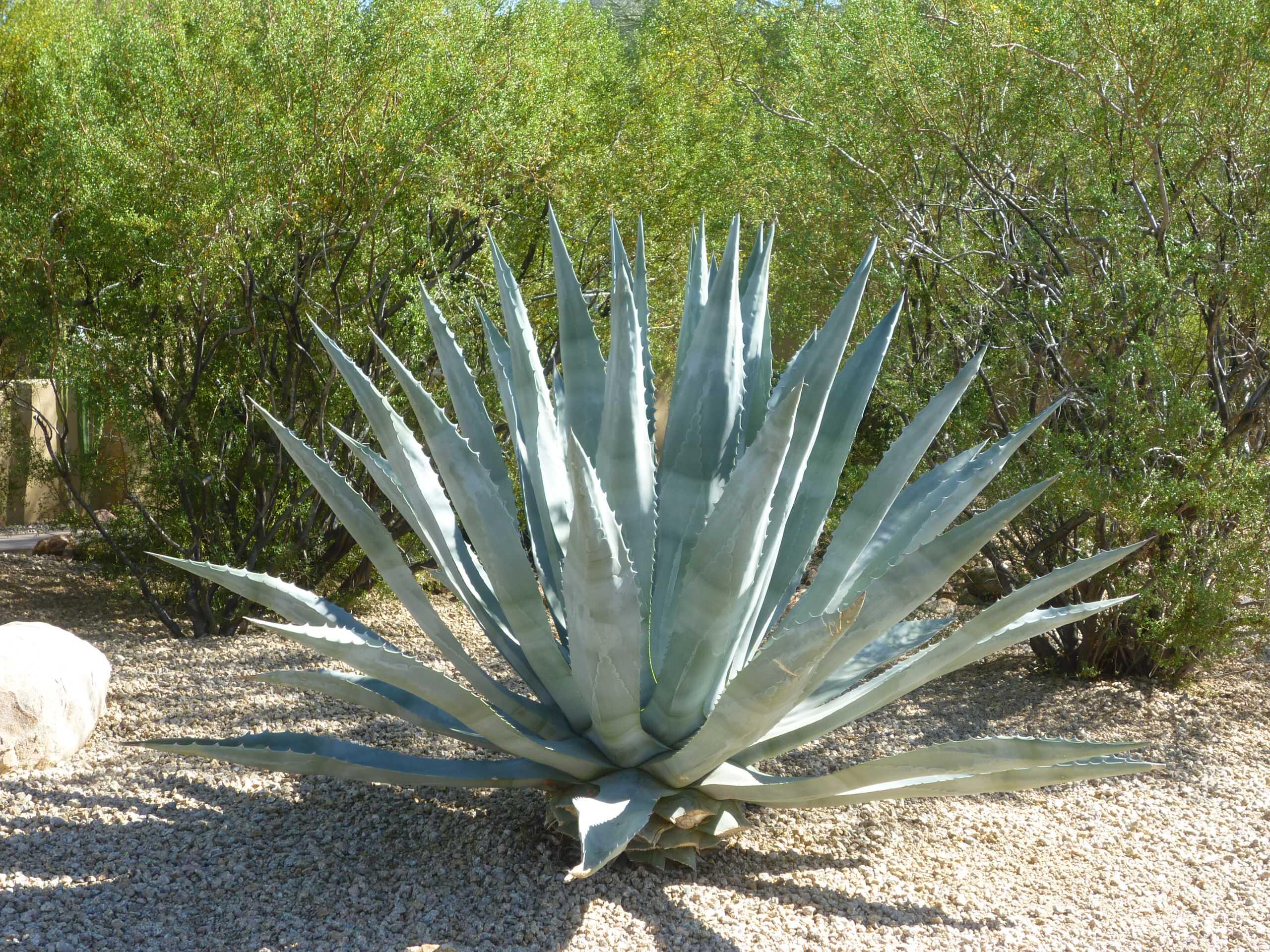 Agave Americana_Century Plant