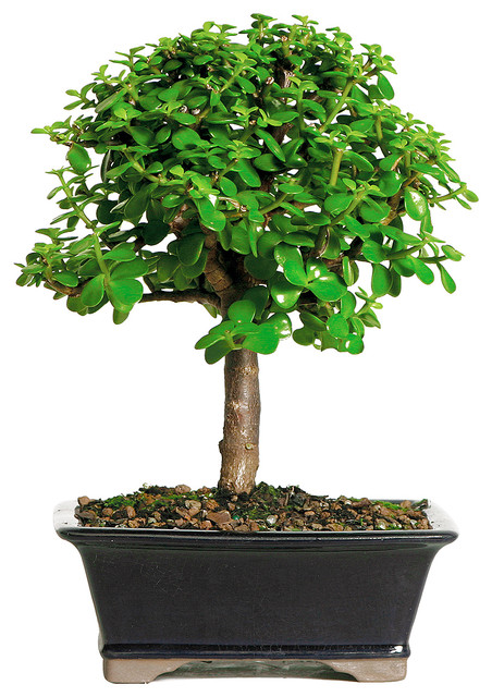 Brussel S Bonsai Dwarf Jade Bonsai Tree Amp Reviews Houzz