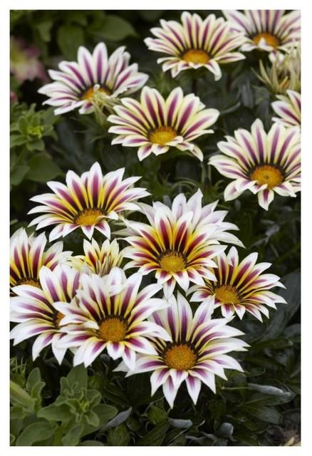 Gazania Big Kiss White Flame Variety Flowers Paper Print 14 X20