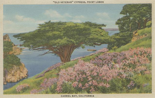 Quot Carmel Bay Ca View Of Old Veteran Tree Point Lobos