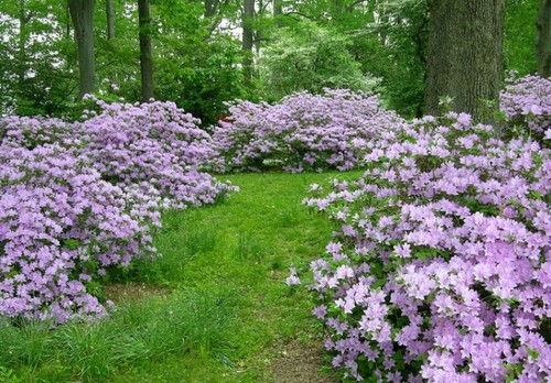 Recommend A Light Lavender Purple Azalea