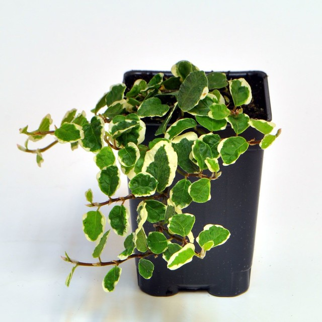 Ficus pumila, Variegated - Creeping Fig incl. Heat Pack