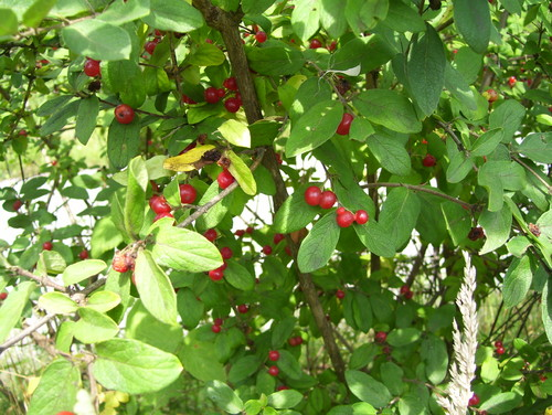 Landscaping Shrubs With Red Berries : Shrub with red berries