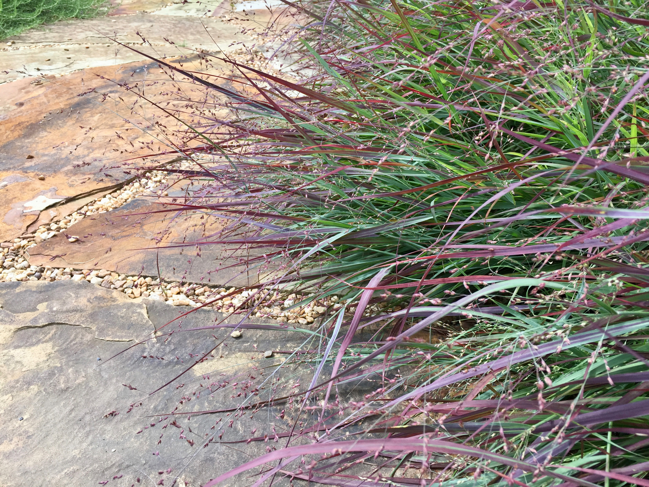 'Cheyenne Sky' panicum plays well with flagstone sidewalk.