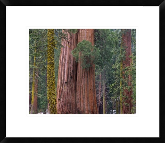 Giant Sequoia Trees - Contemporary - Prints And Posters - by Global Gallery