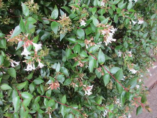 Shrub with white bell flowers mightylinksfo