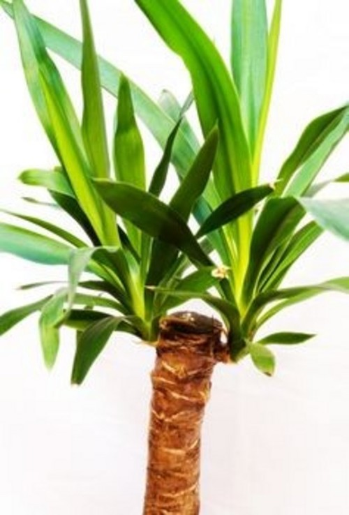 What type of yucca plant - Home plants types ...