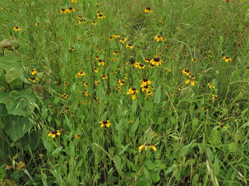 Dracopis Amplexicaulis (Clasping Coneflower)