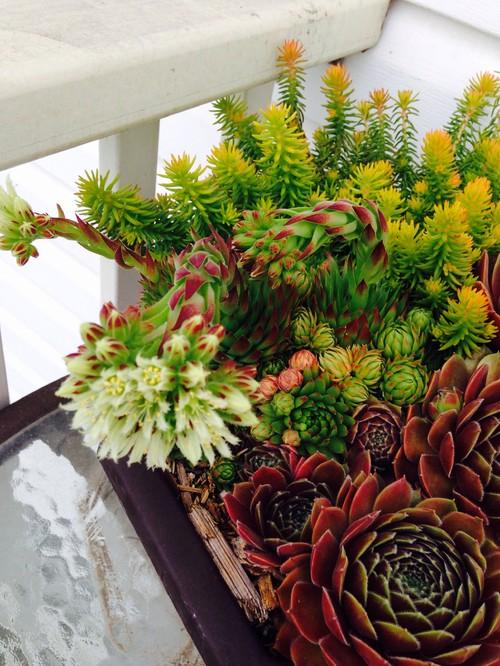 Succulent identification please mightylinksfo