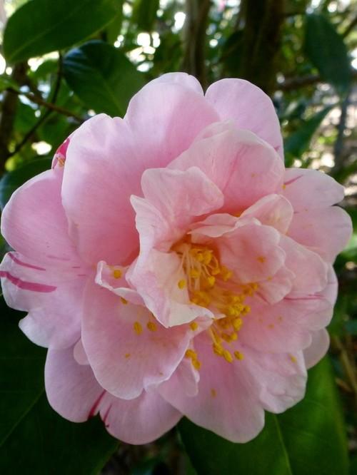 Camellia photos - Camelia fotos ...