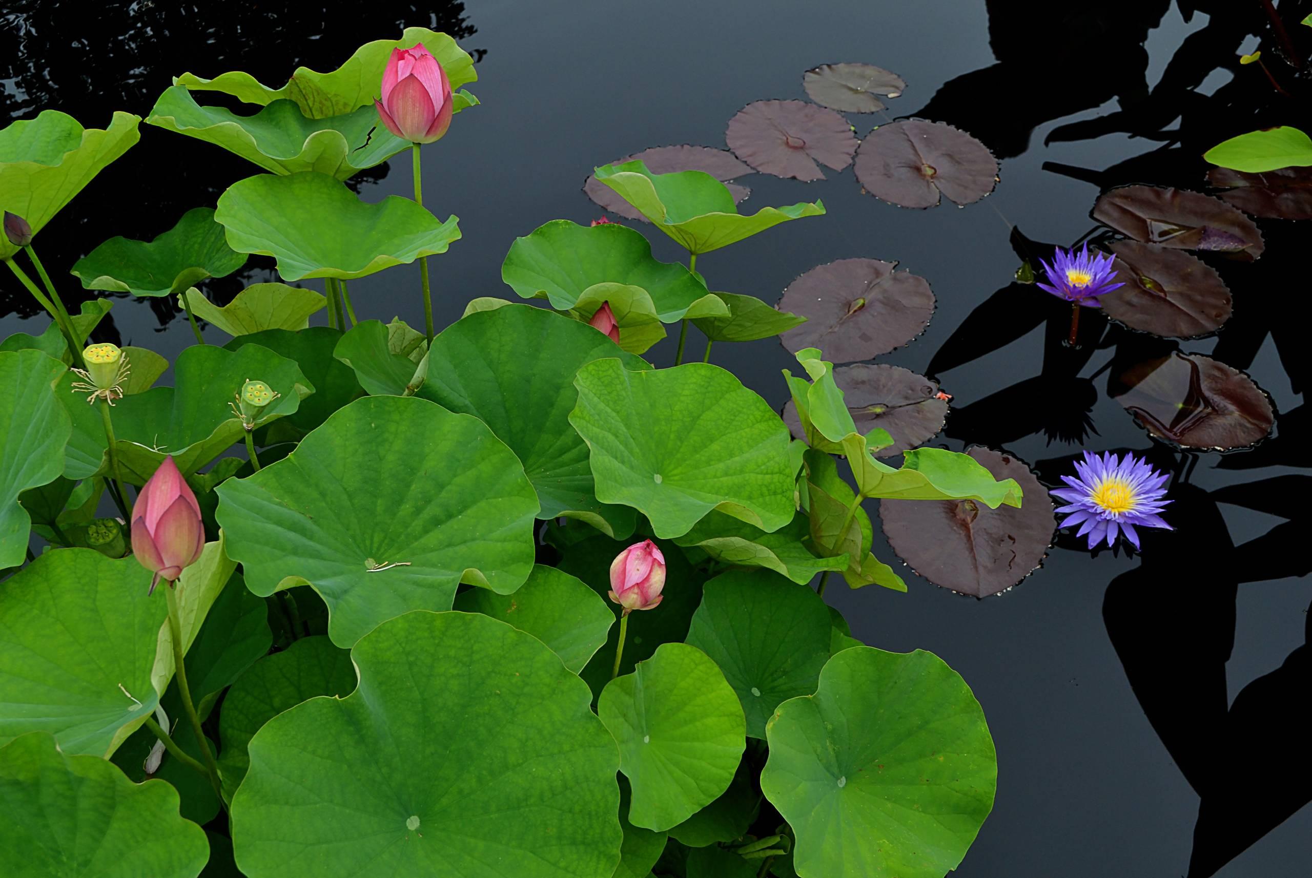 Lotus Poetry II