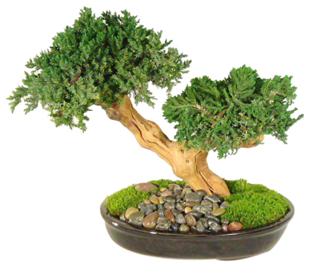 Monterey Double Trunk Preserved Bonsai Tree Not A Living Modern Artificial Plants And Trees By Clickhere2