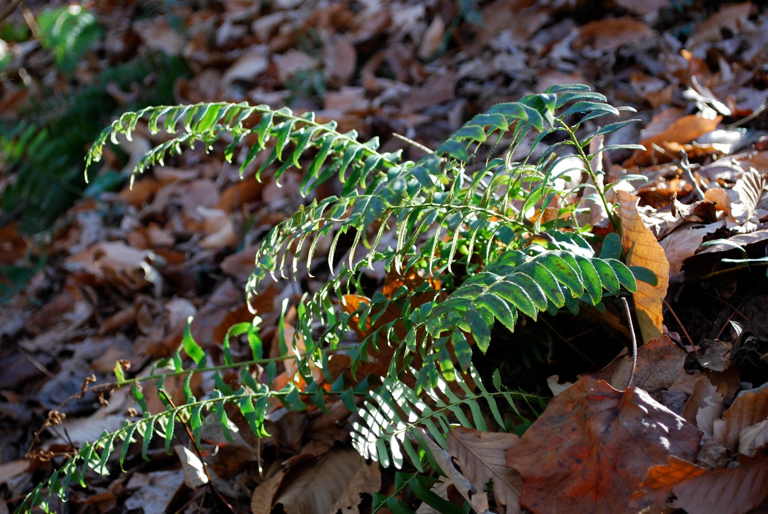 Christmas fern growing in situ