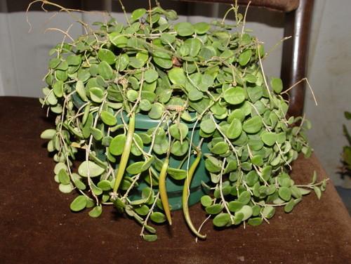 hoya serpens seed pods