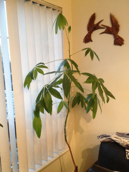 Pruning A Tall One Stem Money Tree