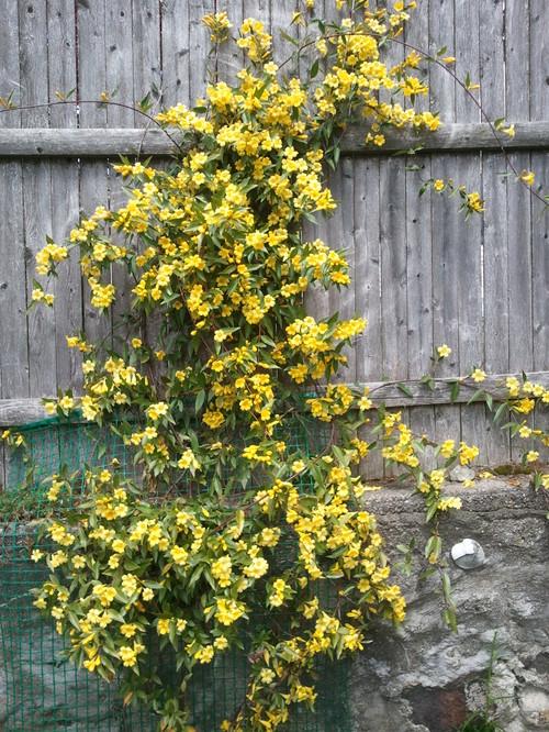 anyone tried carolina jasmine / jessamine 'margarita'?, Beautiful flower