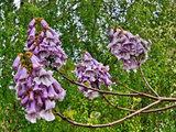 Alberi a Crescita Rapida per Giardinieri Impazienti (10 photos) - image  on http://www.designedoo.it