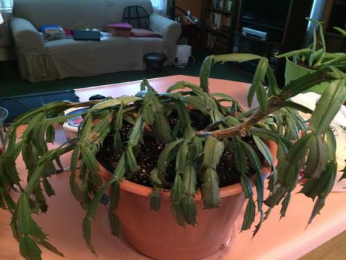 My Easter Cactus (new) looks sick