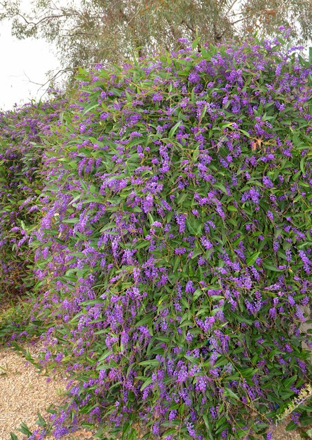Great Design Plant: Purple Lilac Vine