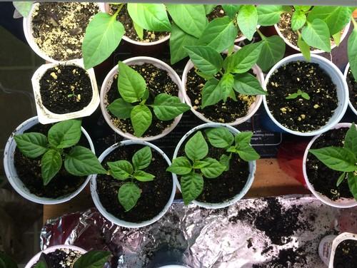 2016 Pepper Seedlings Update