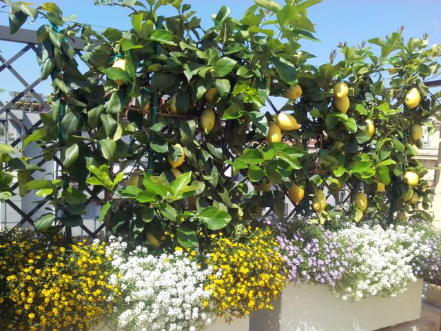 Terrazzo con agrumi da collezione a spalliera a roma parioli for Alberelli da terrazzo