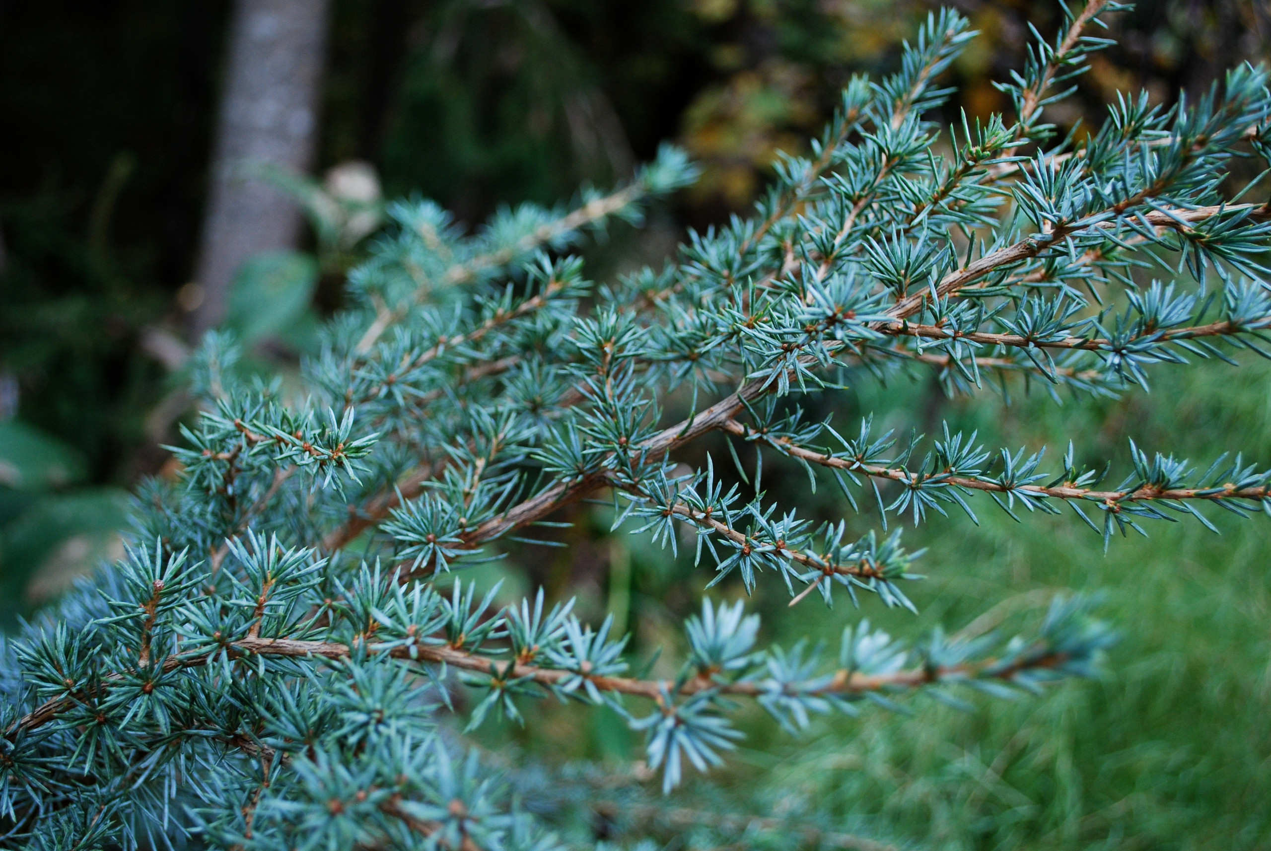 Horstmann Blue Atlas Cedar (close up)