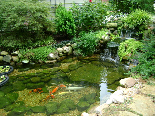 Koi ponds don 39 t need to look like black liner pools for Koi pond next to swimming pool