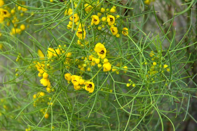 Great Design Plant: Feathery Cassia