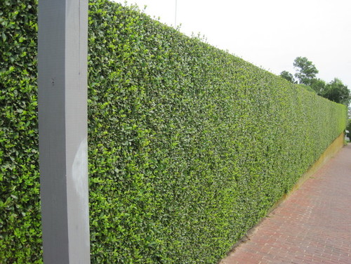 10ft Tall Hedge In AZ