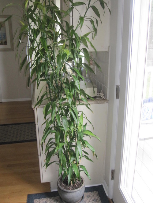 7 ft lucky bamboo dracaena starting to turn yellow help. Black Bedroom Furniture Sets. Home Design Ideas