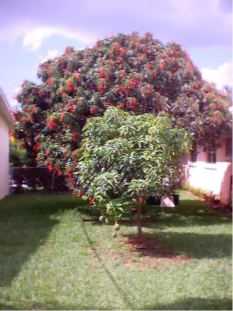 lychee tree not producing do they got too old?, Beautiful flower