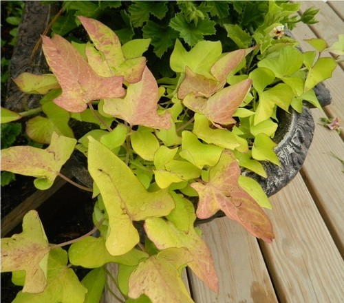 how to make a sweet potato vine