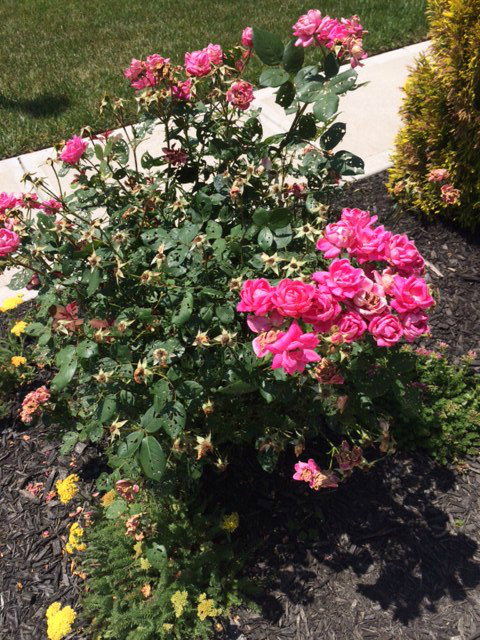 Any Ideas Please Tell Me What To Do I Cut It Down Now That Its Hot And The Middle Of June Spray Insecticidal Soap