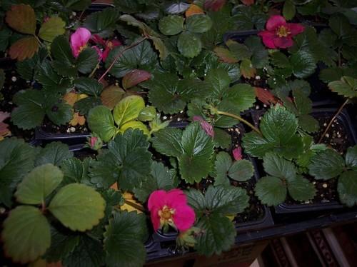 Hot pink flowering strawberries mightylinksfo Gallery