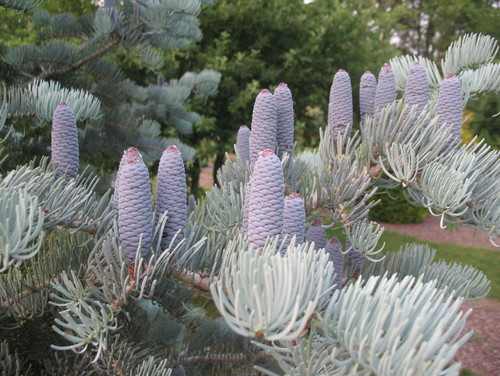 Abies Concolor Candicans Blue Cones