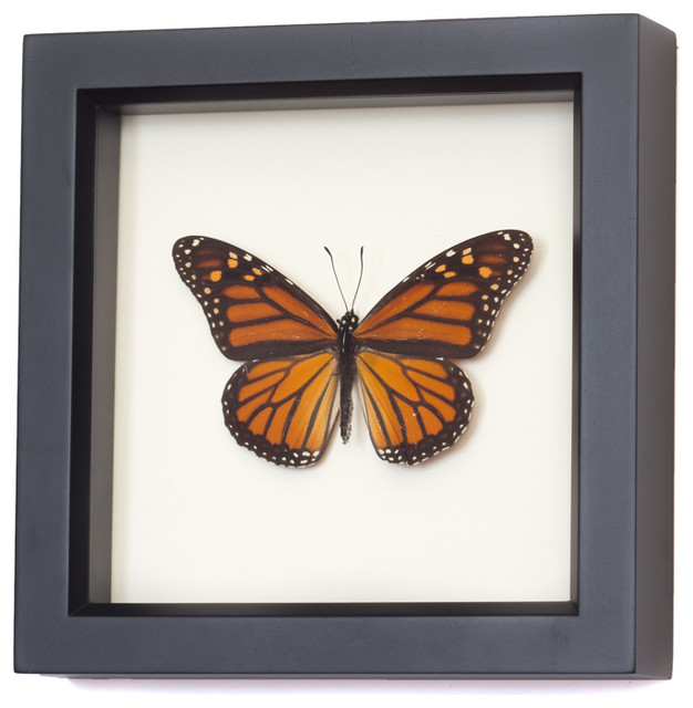 Real Framed Monarch Butterfly Traditional Home Decor