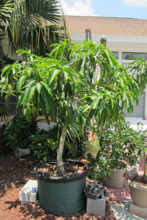 Wild Here S A Picture Of My Container Mango Taken Years Ago Some People Have Grown Them In Containers That Live Up North So I Know It Can Be