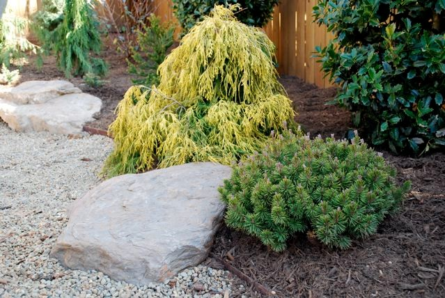 Lemon Thread false cypress with Slow Mound Mugo Pine
