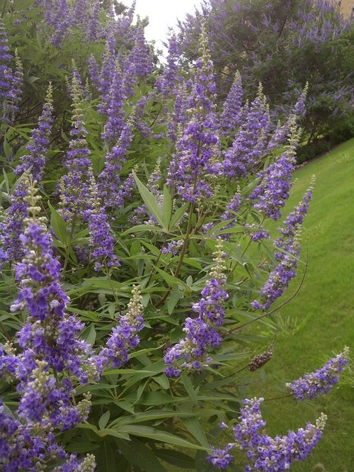 Large shrub with upward spikes of purple flowers for Large flowering shrubs