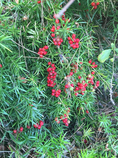 Need Plant Id Feathery Like Ground Cover With Red Berries