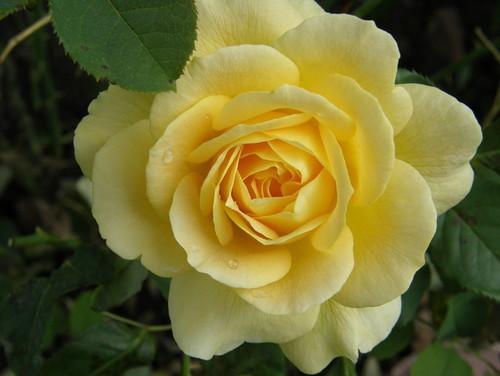 Las Rosas Vienen
