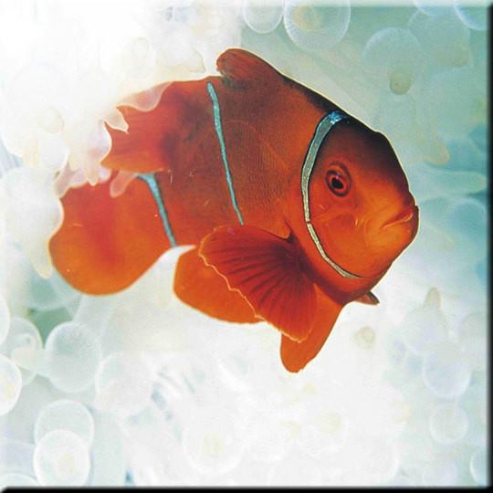 Orange Nemo Fish Design Art Ceramic Tile